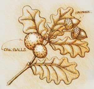 Oak gall and acorn leaves